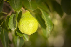 Young pear growing on tree Royalty Free Stock Photography