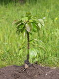 Young pear tree. Closeup of a young pear tree rooted in a mound of dirt outdoors Stock Image