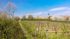 Young pear trees in Belgium Stock Photography