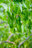 Young pears on tree branch Royalty Free Stock Photography