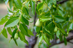 Young pears on tree branch Stock Images