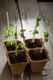 Young peas seedlings Royalty Free Stock Image