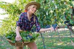 Young peasant grape  harvest among the vineyards Stock Photos