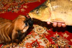 The young Pekingese looks at the mirror carp with interest. royalty free stock photo