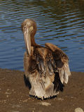 Young pelican getting dry Stock Image