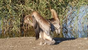 Young pelican stock video footage