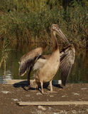 Young pelican with opened wings Royalty Free Stock Photos