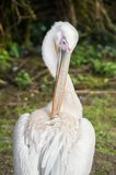 Pelican preening feathers Royalty Free Stock Photo