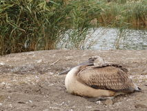 Young pelican resting Royalty Free Stock Image