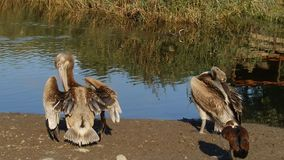 Young pelicans stock video footage