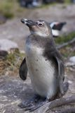 Young Penguin Royalty Free Stock Photography