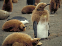 Young Penguin. Young King Penguin Stock Photo