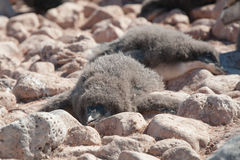 Young penguin having a rest Royalty Free Stock Photo