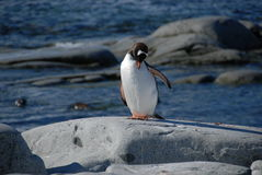 Young penguin on the shore Royalty Free Stock Photography