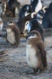 Young penguin Royalty Free Stock Photos