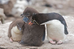 Young Penguins Royalty Free Stock Photos