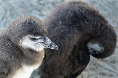 Young penguins at the beach royalty free stock photos