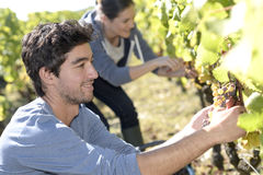 Young people picking up grapes Stock Photos