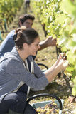 Young people picking up grapes on a sunny day Stock Photography