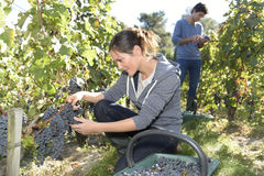 Young people picking up grapes in vineyard Royalty Free Stock Image