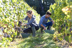 Young people picking up grapes in vineyard Stock Photography