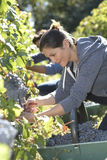 Young people in vineyard picking up grapes Royalty Free Stock Photos