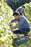 Young people in vineyard picking up grapes Royalty Free Stock Photo