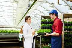 Young people working in greenhouse. Attractive female agricultural engineer communicating with young male worker holding fresh lettuce in industrial greenhouse Stock Image