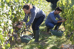 Young people working hard in vineyard Stock Photography
