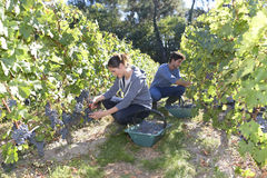 Young people working in vineyard Stock Photography