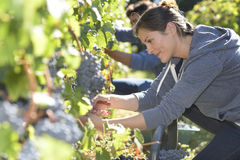 Young people working in vineyards Stock Photography