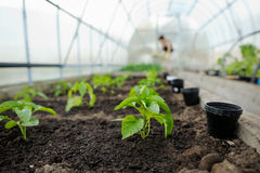 Young pepper seedlings Royalty Free Stock Photography
