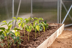 Young pepper seedlings in soil in the greenhouse royalty free stock image