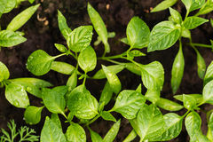 Young pepper seedlings with water drops growing in soil Stock Image