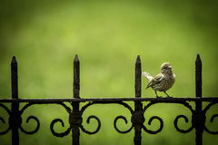 Young Perky Finch. A juvenal purple finch perching on an antique iron fence Stock Image
