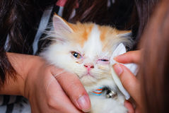 Young Persian cat is getting its eye wiped Royalty Free Stock Photography