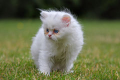 Young persian cat, green outdoor Royalty Free Stock Image