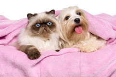 Young persian cat and a happy havanese dog lying on a bedspread stock photos