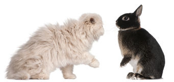 Young Persian cat and rabbit playing Stock Images