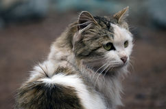 Young Persian Cat! Royalty Free Stock Photography