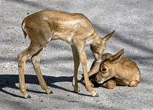 Young persian goitered gazelles 1 Royalty Free Stock Photo