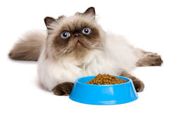 Young persian seal colourpoint cat with a blue bowl of cat food Stock Photo