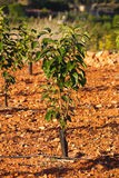 Young persimmon tree. The young persimmon tree in the field stock images