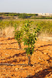 Young persimmon tree Stock Photography