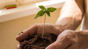 The young person hold in his hand sprout of medical marijuana. Cannapis plant growing indoor stock photos