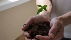 The young person hold in his hand sprout of medical marijuana. Cannapis plant growing indoor stock photography