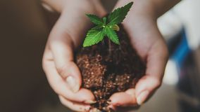 The young person hold in his hand sprout of medical marijuana. Cannapis plant growing indoor stock photo