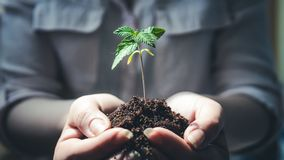 The young person hold in his hand sprout of medical marijuana. Cannapis plant growing indoor royalty free stock images
