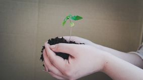 The young person hold in his hand sprout of medical marijuana. Cannapis plant growing indoor royalty free stock photo