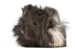 Young Peruvian guinea pig, 2 months old Royalty Free Stock Images